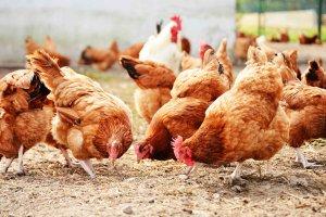 «Птицепром-2017»: спикеры расскажут о применении антибиотиков в птицеводстве