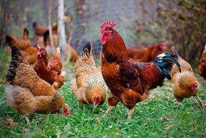 """На конференции """"Птицепром"""" расскажут о стратегиях сбыта мяса птицы"""