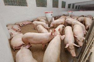 Как оценить качество кормов в свиноводстве