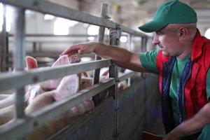 Цены на свиней в ЕС продолжают падать