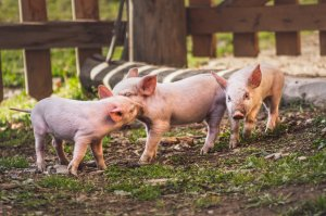 Геномная селекция в российском свиноводстве